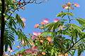 Albizia julibrissin IMG 4317 1725.jpg
