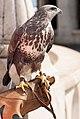 Alert falcon (16440961695).jpg