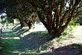All Saint's Church Chillenden Kent England - churchyard path and yews.jpg