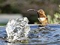 Allen's hummingbird (46543037485).jpg