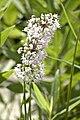 Allium cernuum NODDING WILD ONION.jpg