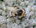 Allium porrum Bombus lucorum, prei kleine aardhommel (12).jpg