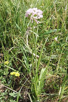 Allium trifolianum pm1.jpg