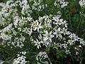 Allium tuberosum, 2021-09-05, Beechview, 03.jpg