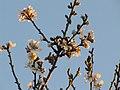 Almendro en Flor VII (4325815822).jpg