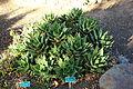 Aloe perfoliata (Aloe nobilis) - San Luis Obispo Botanical Garden - DSC05955.JPG