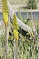Aloes vera - détail.jpg