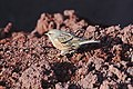 Alpine Accentor (Prunella collaris) running in Vesuvius.jpg