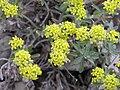 Alyssum tortuosum flowers.jpg