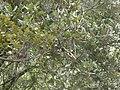 Alzina amb papallona Limenitis reducta prop del portell de Valldaura P1240298.JPG