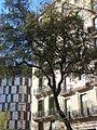 Alzina del passeig de Gràcia P1420894.JPG