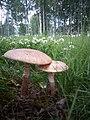 Amanita rubescens gljiva 1 (4).jpg