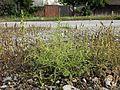 Amaranthus albus sl7.jpg