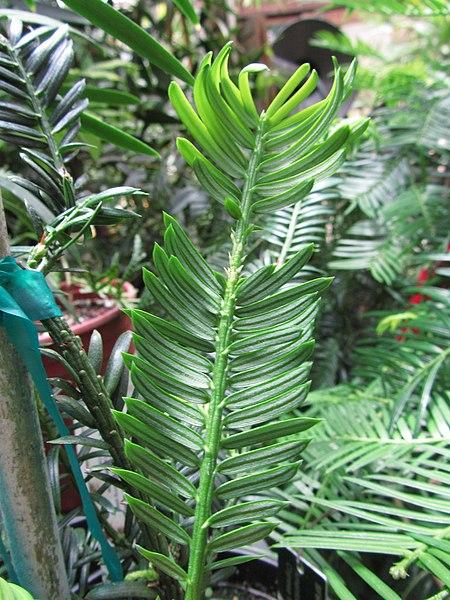 File:Amentotaxus argotaenia 2.JPG