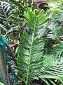 Amentotaxus argotaenia 2.JPG