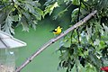 American Goldfinch on Perch (4835809277).jpg