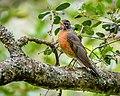 American Robin (34087960121).jpg