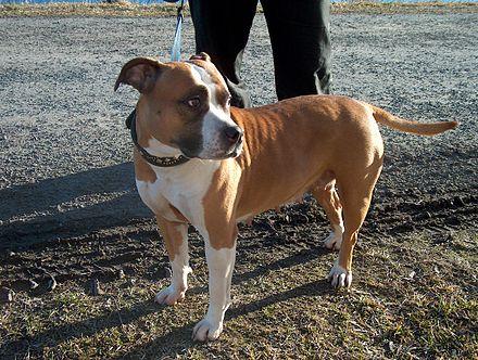 American Staffordshire Terrier female American Staffordshire Terrier