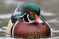American Wood Duck.jpg