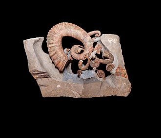 Ancyloceratina - Assemblage of Barremian heteromorph ammonites from southeastern France