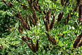 Amorpha fruticosa 049.jpg