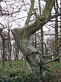 An elbow-shaped tree - geograph.org.uk - 1088325.jpg