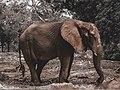 An elephant in Kano Zoo.jpg