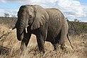An elephant in Kruger National Park.jpg