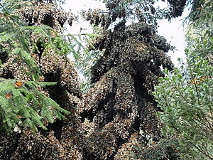 Diapause - Overwintering monarch butterflies in diapause clustering on oyamel trees. One tree is completely covered in butterflies. These butterflies were located on a preserve outside of Angangueo, Michoacán, Mexico