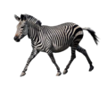 Animals png set by mossi889-d4uye4q - Zebra.png