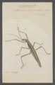 Anisomorpha - Print - Iconographia Zoologica - Special Collections University of Amsterdam - UBAINV0274 065 04 0010.tif
