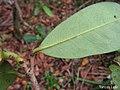 Annona salzmannii, araticum - Flickr - Tarciso Leão (4).jpg