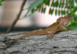 Dactyloidae - Carolina anole (above), Crested anole (below)