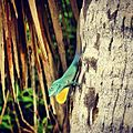 Anolis grahami on tree.jpg