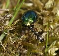 Ant (Lasius niger^) with Leaf Beetle - Flickr - S. Rae.jpg