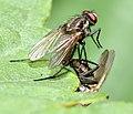 Anthomyiidae sp. 2 (aka).jpg