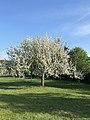 Apfelblüte im Kirdorfer Feld.jpg