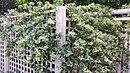 Aphanopetalum resinosum vine