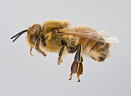drones bees with Honingbij on Small Hive Beetle Control Video Tutorial moreover The Queen Of Hor s additionally Drone Laying Queens Vs Laying Workers moreover Helping Your Bees Survive Even The Harshest Winter moreover 485338291.