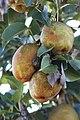 Apples in Fayetteville, AR.jpg