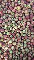 Apples of tribjee arwani, Bijbehara 3.jpg