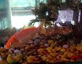 Aquarium fish7.JPG