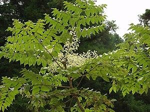 Araliaceae - Aralia elata