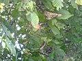Araneus diadematus-fem-01.jpg