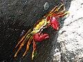 Aratu vermelho – (Goniopsis cruentata) - Praia do Sancho - Fernando de Noronha (PE).JPG