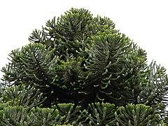 240px araucaria bidwillii foliage cones