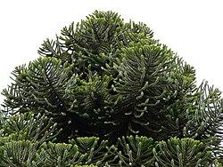 Araucaria bidwillii foliage cones.jpg