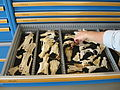 Archaeozoology - Pelvis - Reference collection - RCE.JPG