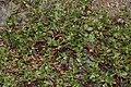Arctostaphylos nevadensis 7749.JPG