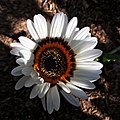 Arctotis fastuosa - Cape daisy IMG 6668.jpg